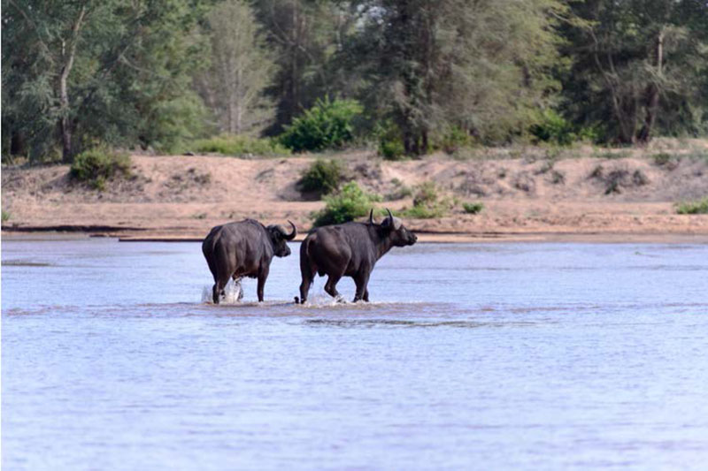 buffalos-on-zimbabwe-safari
