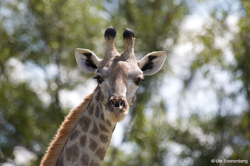 giraffes-on-african-safari