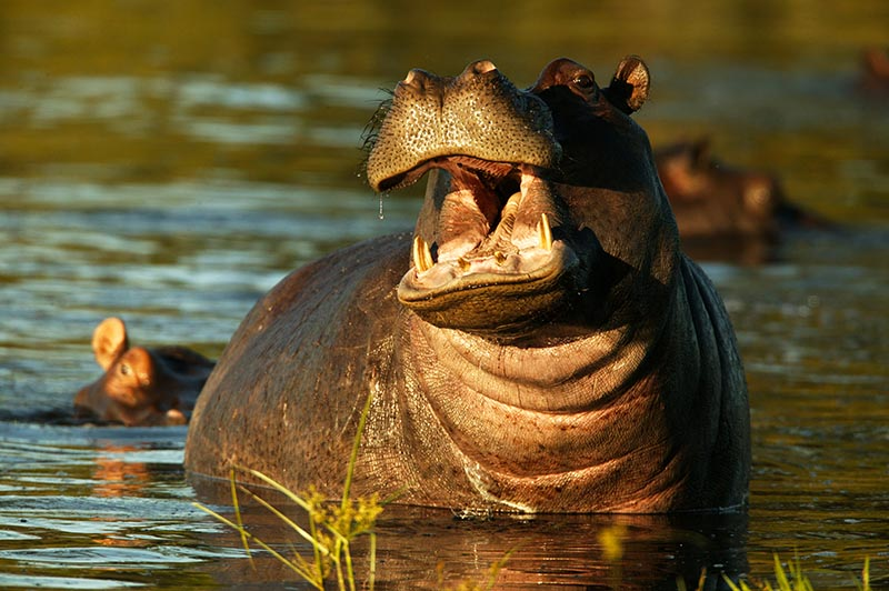 hippos-on-your-african-safari-vacation