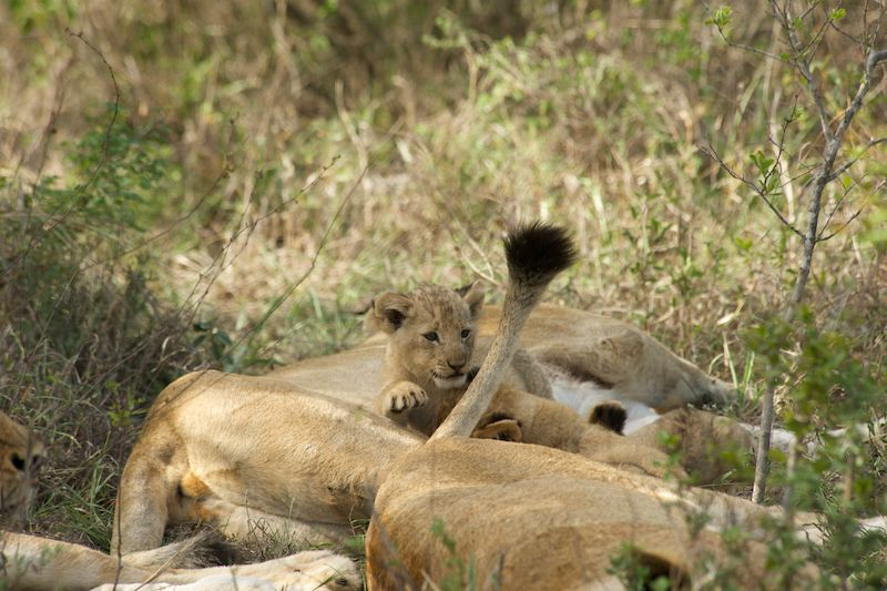 how-to-find-lions-on-african-safari