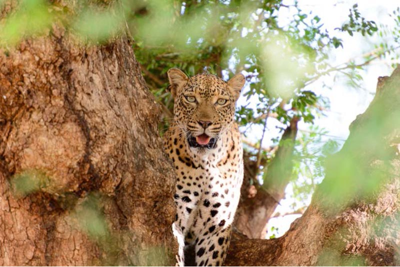 leopard-on-kruger-park-safari