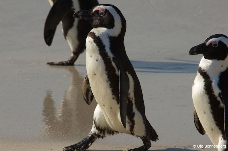 penguins-at-boulders-south-africa-safari