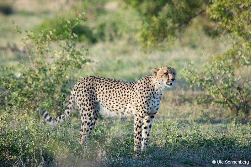 spotting-cheetah-on-your-safari