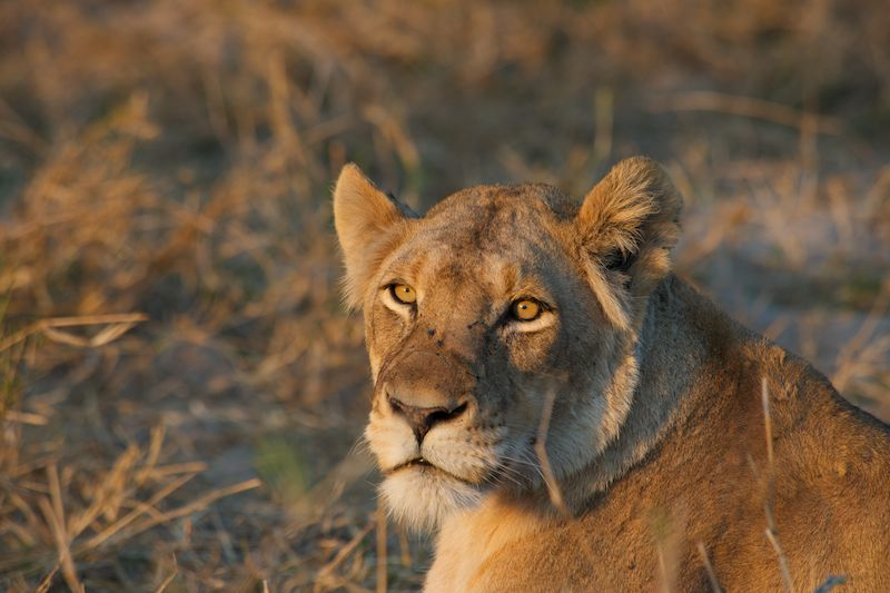 the-best-places-in-africa-to-see-lion-on-safari