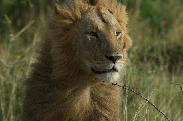 the-best-places-to-see-lion-on-african-safari