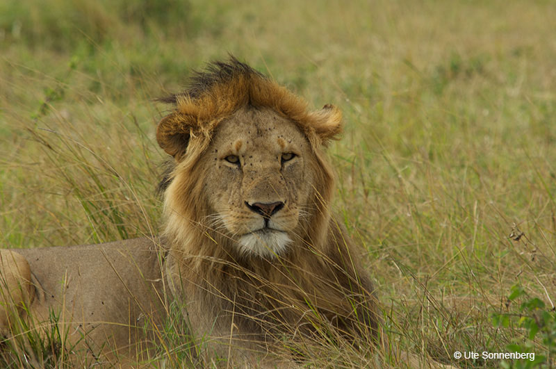 the-masai-mara-male-lion