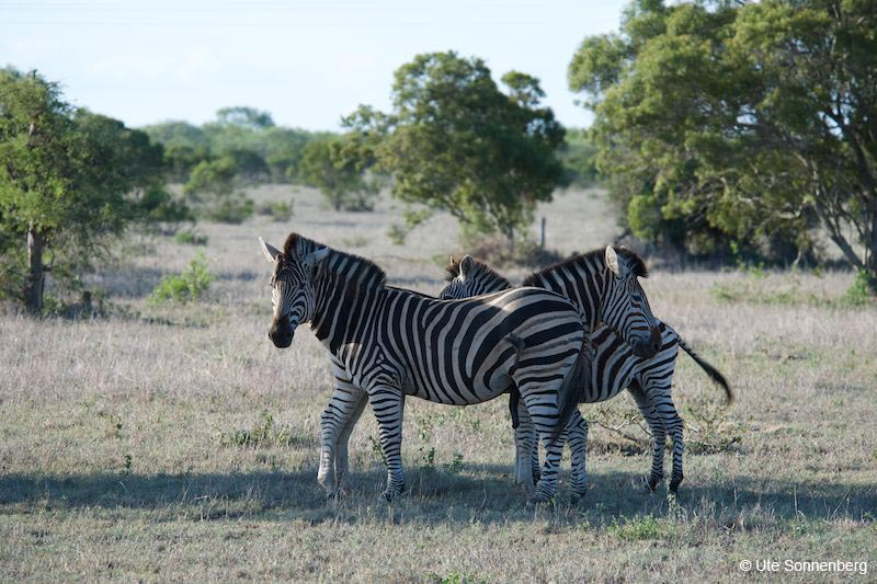 zebras-on-african-safari-tour