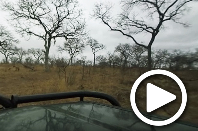 leopard kill in tree in sabi sand